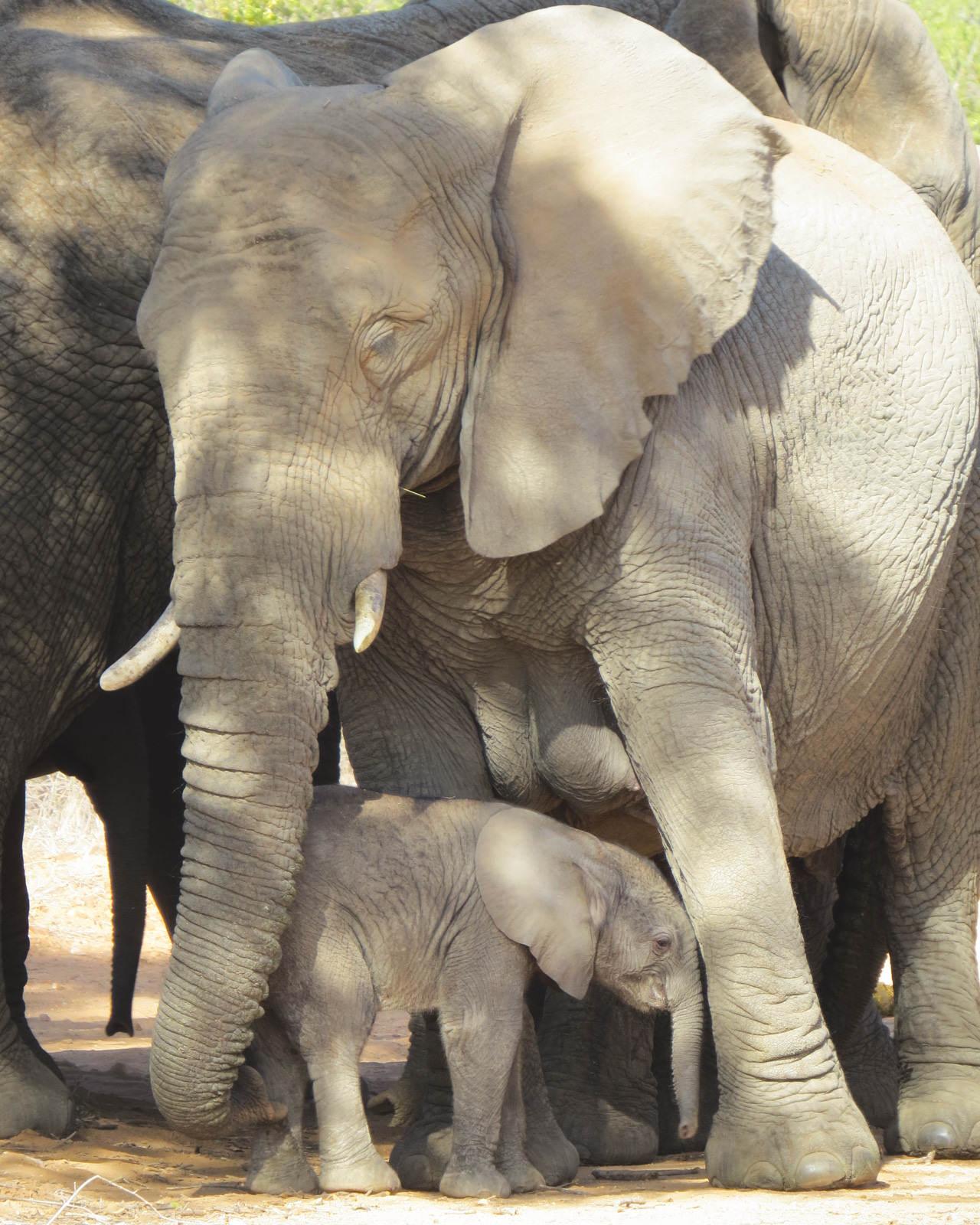 Elephant baby at Kapama Kruger Park