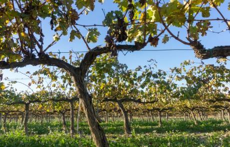 Sant Sadurni danoia vines cava